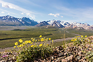 One-flowered Cinquefoil (Potentilla uniflora) overlooking Polychrome Pass in Denali National Park in Interior Alaska. Summer. Morning.