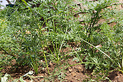 Some carrots growing in the vegetable garden at Kitovu Hospital, Uganda.<br /> <br /> This garden is run by the fistula patients but due to the fact these only happen a few times a year the garden is often left untended.<br /> <br /> Th gardening helps in their recovery and provides fresh fruit and vegetables for the patients.