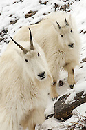After a six-month gestation period, female mountain goats, or nannies, give birth to a single offspring in spring. Although they are weaned within one month, these offspring, or kids, follow their mothers closely for the first year or until the nanny gives birth again.