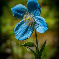 Blue Flowers--