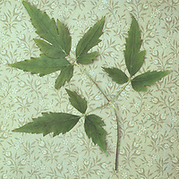 Stem of green leaves of Clematis Frances Rivis lying on pale olive green vintage paper with tiny flower motif