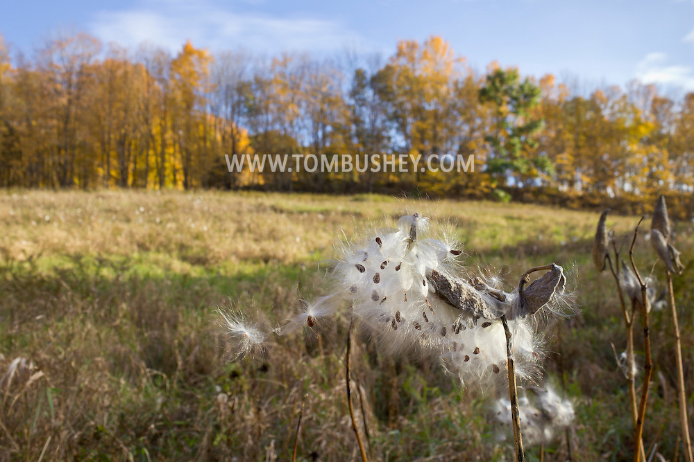 Chester, New York - Milkweed plants  (asclepias syriaca) and their seeds in a field at Goosepond Mountain State Park on Oct. 18, 2012.