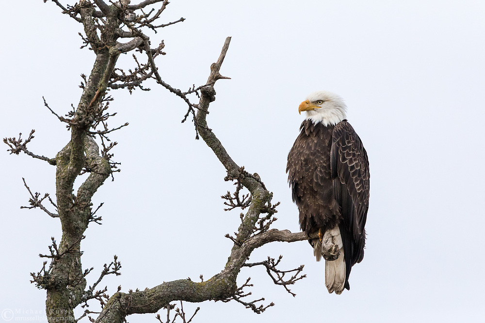 An adult Bald Eagle (Haliaeetus leucocephalus) perched on a tree branch near Boundary Bay in Delta, British Columbia, Canada.