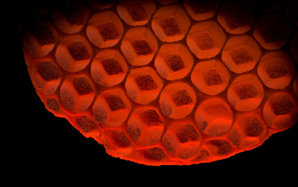 European honey bee (Apis mellifera), Captive, Honeycomb credit: Palo Alto JMZ/M. D. Kern