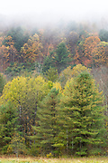The Fall foliage colours of Aspen trees with conifers near Woodstock in Vermont, New England, USA