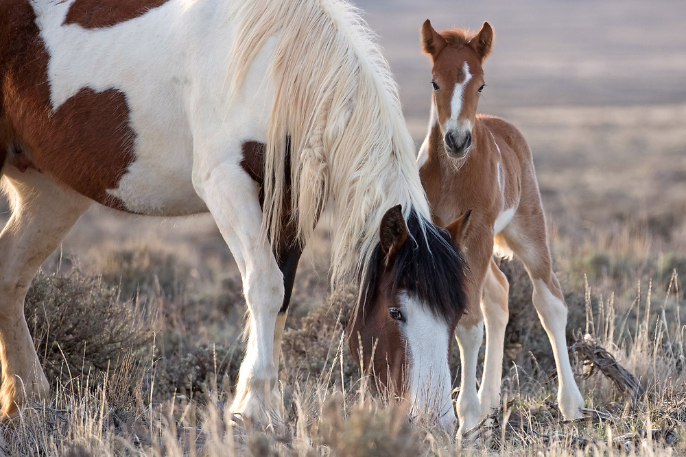 Just day's old, a shy new colt peers out from behind his mother, Topeka, as she grazes on the range at McCullough Peaks.