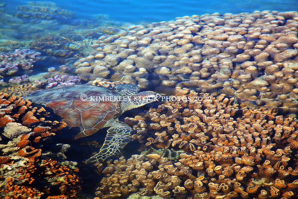 A Green Turtle swims over coral in the shallow of Turtle Reef in Talbot Bay on the Kimberley coast of Western Australia.