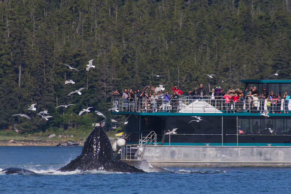 A tourboat out of Juneau gets a close view of the humpback whales (Megaptera novaeangliae) bubblenet feeding.