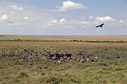Vultures and other predators gather around a dead buffalo in Maasai Mara; Kenya