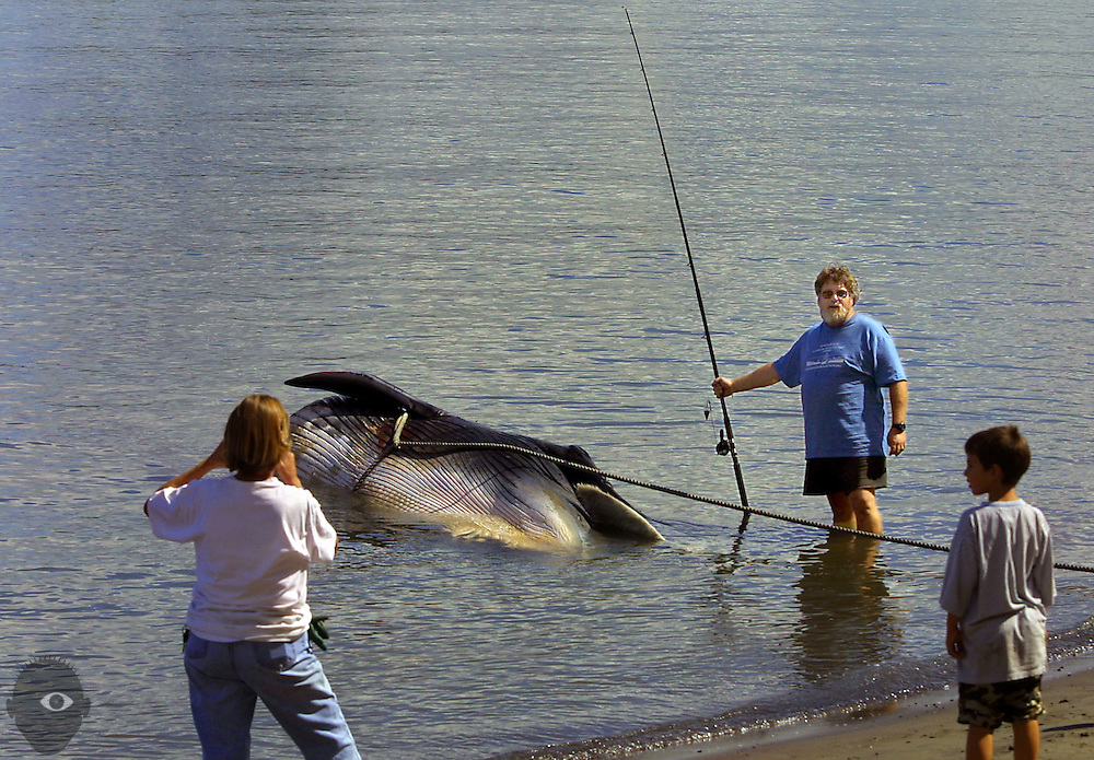 Fin whale left just off shore of Kelley Point Park by tug crew. It possibly was brought up the Columbia by a the container ship Ruby Ray out of Monrovia and will be examined by a team led by Dr. Debbie Duffield, a PSU biologist. Many came to see it and be photographed with it like Bruce McCalib of Fairview who pretended he had caught it.