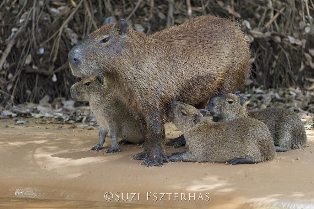 Capybara<br /> Hydrochaeris hydrochaeris<br /> Mother suckling young<br /> Pantanal, Brazil