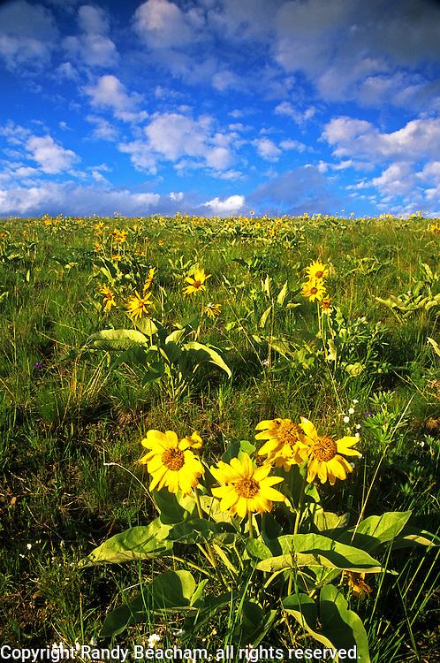 Arrowleaf balsamroot growing on hillside in spring. National Bison Range, Montana