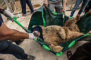 Lula the Bear is tranquilized and transferred to a temporary cage during her rescue from the Mosul Zoo. Mosul, Iraq. Mar. 30, 2017. (Photo by Gabriel Romero ©2017)