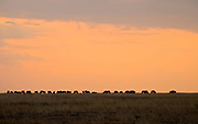 Wildebeests grazing at sunset in Maasai Mara NP, Kenya.