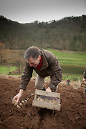H.E. Planting potatoes at greve de lecq  Jersey