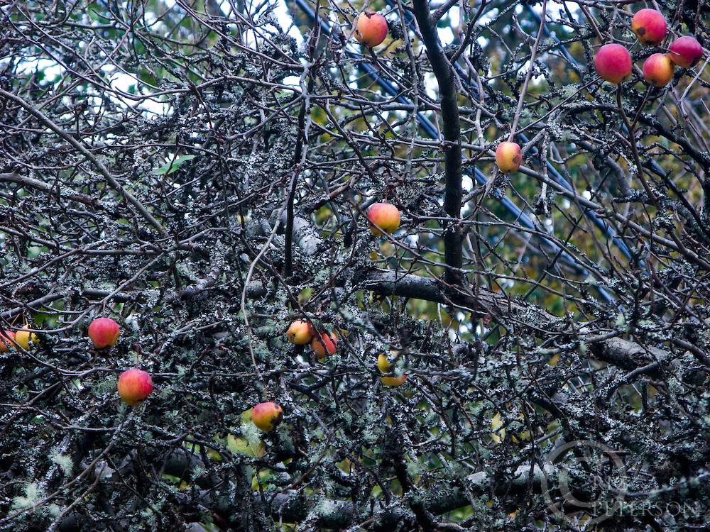apples still left on tree after harvest in old apple orhcard