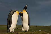 King Penguins (Aptenodytes p. patagonica).<br /> Volunteer Point, Johnson's Harbour, East Falkland Island. FALKLAND ISLANDS.<br /> RANGE: Circumpolar, breeding on Subantarctic Islands. Extensive colonies found in South Georgia, Marion, Crozet, Kerguelen and Macquarie Islands. The Falklands represent its most northerly range. They are highly gregarious which probably accounts for it common association with colonies of Gentoo Penguins.<br /> King Penguins are the largest and most colourful penguins found in the Falklands. They have a unique breeding cycle. The incubation of one egg lasts for 54-55 days and chick rearing 11-12 months. As the complete cycle takes more than one year a pair will generally only breed twice in three years.