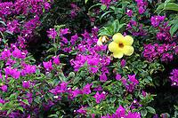 Bougainvillea (pink) and allamanda catharica (yellow)