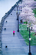 A young woman, enjoys an evening run along the Tom McCall waterfront under ornamental cherry trees during their spring bloom in Portland, Oregon, USA.  The waterfront is located in downtown Portland on the Columbia River. (Model Released)