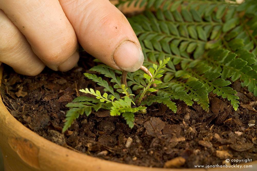 Propagating ferns by bulbils<br /> Pinning down a leaf with bulbils  - Polystichum proliferum