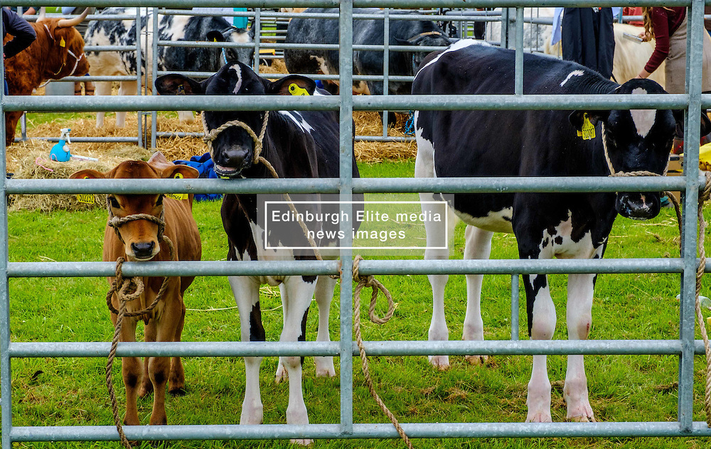 Biggar, South Lanarkshire, Scotland 23 July 2016<br /> <br /> Calves waiting to go to the show ring.<br /> (c) Andrew Wilson | Edinburgh Elite media