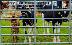 Biggar, South Lanarkshire, Scotland 23 July 2016<br /> <br /> Calves waiting to go to the show ring.<br /> (c) Andrew Wilson | Edinburgh Elite media