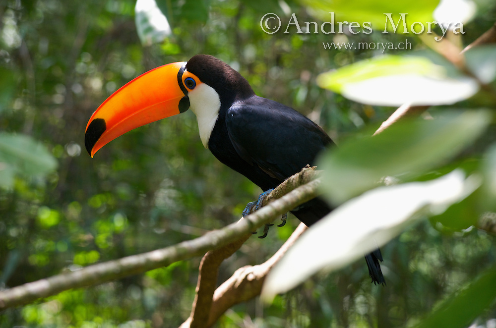 Toco Toucan (Ramphastos toco), Brazil. Is the largest and probably the best known species in the toucan family. It is found in semi-open habitats throughout a large part of central and eastern South America. Image by Andres Morya