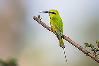 Little Green Bee-Eater, Zakouma National Park, Chad