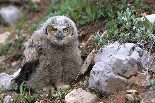 Great Horned Owl, (Bubo virginianus) Fledgling, have just left nest. Bridger mountains. Montana.