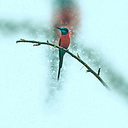 Digitally enhanced image of a Carmine bee eater (Merops nubicoides) perched on a branch. Photographed in Africa, Ethiopia