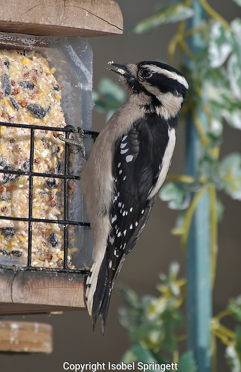 Hairy Woodpecker (Photo by: Isobel Springett).