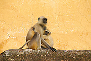 Grey langur monkey cub with mother