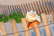 Whelk shell on a sand fence at Jeanette's Pier Nags Head Outer Banks, NC.