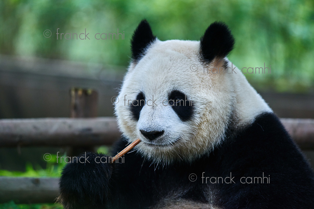 Chengdu, China - September 19, 2014: one giant Panda bear eating bamboo roots in Bifengxia base reserve Sichuan China