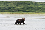 A Brown bear boar hunts for salmon in the lower river at the McNeil River State Game Sanctuary on the Kenai Peninsula, Alaska. The remote site is accessed only with a special permit and is the world's largest seasonal population of brown bears in their natural environment.