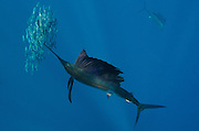 Atlantic Sailfish (Istiophorus albicans) hunting Sardines<br /> Isla Mujeres<br /> MEXICO<br /> RANGE: Atlantic Oceans & Caribbean Sea<br /> NOTE: Digital removal of half fish