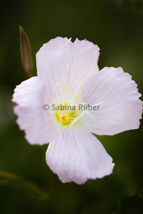 Oenothera speciosa 'Evening Pink' - pink evening primrose