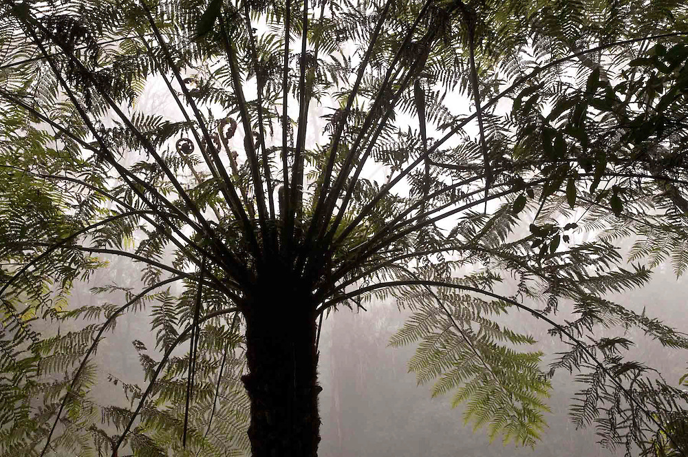 Tree Ferns in the Mist