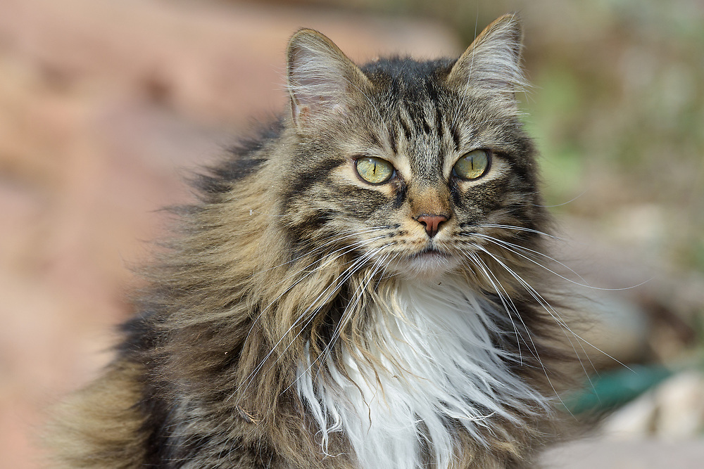 """Loki is a gentle 11 year old Maine-Coon like tabby rescued as a kitten from a field in Inglewood, California. Loki is an exceptionally good-natured cat with just a touch of mischief. He has criss-crossed the country several times and has lived overseas in the Netherlands where he acquired a second name """"mooi"""" (beautiful). Note: For BIRDERS: Loki is an indoor cat with only closely supervised outdoor visits in a dog run where most of these photos are taken."""