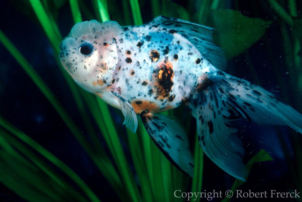 AQUACULTURE Exotic Goldfish, a Calico Oranda from China