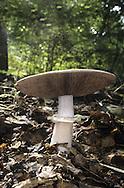 Wood Mushroom - Agaricus silvicola