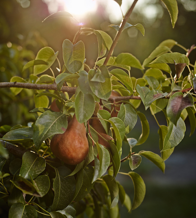 Detail shot of a pear growing on its tree in California shot on a PhaseOne IQ180