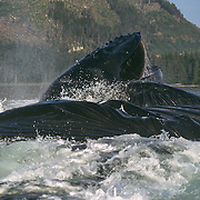 Humpback whales (Megaptera novaeanglia) cooperative feeding using a bubble net, near Kupreanof Island, Stephen's Passage, Southeast Alaska, USA.<br /> This photo was taken near the Tlingit town of Kake on Kupreanof Island and illustrates the problems of the practice of clear-cut logging that persisted during the 1980s and 90s when I was based in Southeast Alaska. The extent of clear-cutting was much worse around native communities because the Alaska Native Claims Settlement Act of 1971 (ANCSA) awarded approximately 148,500,000 acres (601,000 km2) of Federal land in Alaska to private native corporations which were created under ANCSA. Transference of public National Forest land to a privately owned corporation removes it from protection by Federal law and allows the owners to use the land in whatever way they see fit without regard to the effects of the use on surrounding lands and ecosystems. This fact has caused much controversy involving the business interests of Native Regional Corporations and the personal interests of local Natives and non-Native residents of Southeastern Alaska, such as subsistence hunting and tourism.