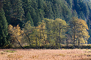 Fall foliage in a row of trees along the edge of Katzie Marsh at the Pitt-Addington Wildlife Management Area in Pitt Meadows, British Columbia, Canada