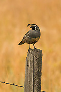 Male Gambel's quial perched on a fencepost