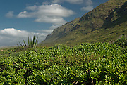 Lush, tropical foliage at Kaena Point on the island of Oahu Hawaii.