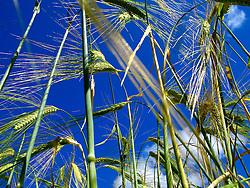 UK ENGLAND SOMERSET DUNSTER 22JUN06 - A field of growing wheat near the village of Dunster, northern Exmoor in Somerset. ..jre/Photo by Jiri Rezac..© Jiri Rezac 2006..Contact: +44 (0) 7050 110 417.Mobile:  +44 (0) 7801 337 683.Office:  +44 (0) 20 8968 9635..Email:   jiri@jirirezac.com.Web:    www.jirirezac.com..© All images Jiri Rezac 2006 - All rights reserved.