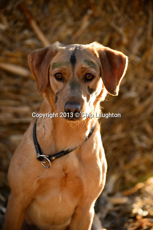 labrador retriever stock photo image