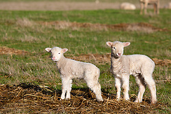 Newborn lambs in Tasmania's northern midlands.