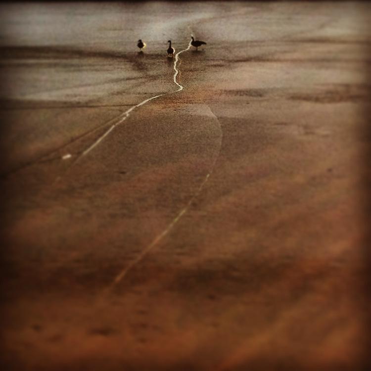 Geese walking on frozen Sloan's Lake, Denver, CO